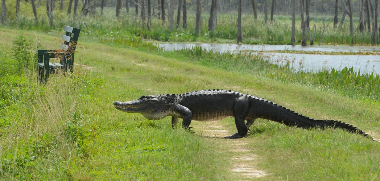 alligator_on_alligator_allee